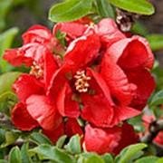 Айва великолепная Техас Скарлет (Chaenomeles ×superba 'Texas Scarlet') фото