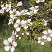 Эфирное масло Чайного дерева 20 мл фото