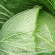 Капуста белокочанная «Белоснежка» фото