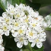 Цветы Боярышника фото