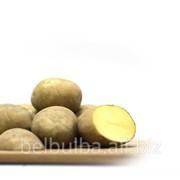 Картофель семенной сорт Импала Элита фото