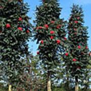 Рябина обыкновенная Фастигиата (Sorbus aucuparia 'Fastigiata') фото