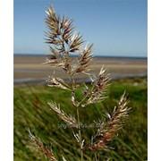 Вейник наземный , Calamagrostis epigeios (L.) Roth. фото