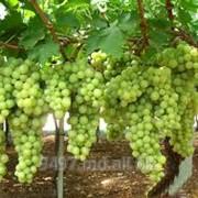 Виноград презетабиль белый фото