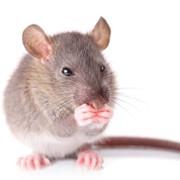 Уничтожение мышей и крыс Великий Новгород фото