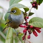 Певчая птица белоглазка фото
