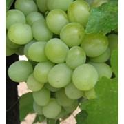 Выращивание лучших сортов столового винограда. Столовый сорт винограда Кеша. фото