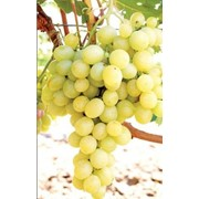 Виноград италия фото
