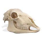 Модель черепа овцы (Ovis aries) фото