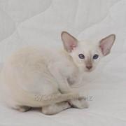 Сиамский котенок фото