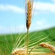 Культуры зерновые, экспорт фото