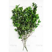 Питоспорум ветви зеленый фото