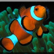 Рыбки породы клоун фото