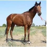 Лошадь английская чистокровная верховая Василиса Прекрасная фото