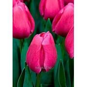 Тюльпан Carola ( Карола) к 8 марта фото
