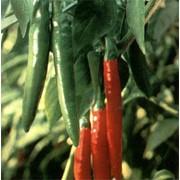 Перец острый Pepper Hot (купить) фото
