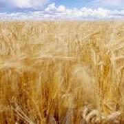 Выращивание зерновых .Кавсько, ФХ Украина фото