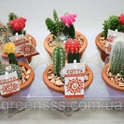 Кактус композиция -- arrangements Cactus фото