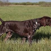Натаска легавых собак фото