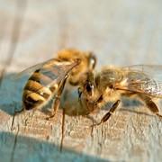 Пчелопакеты 2014: карника 1 поколения, проверенные фото