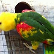 Птенцы - выкормыши Амазонов окольцованные фото
