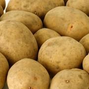 Семенной картофель в Белгороде фото