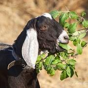 Козы Англо-Нубийской породы молодняк фото