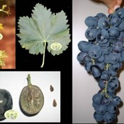 Виноград Michele Palieri фото
