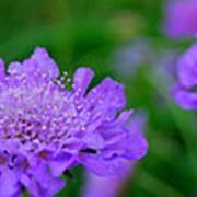Скабиоза Марипоса Перпл (Scabiosa 'Mariposa Purple') фото