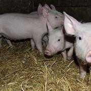 Свіжа домашня свинина фото