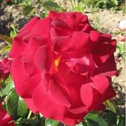 Среднерослые розы, Жарден де Богатель фото