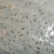 Мицелий гриба Вешенка фото