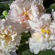 Фиалка Sunkissed Rose фото