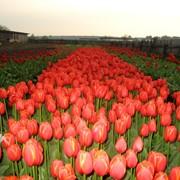 Тюльпаны оптом от производителя. Пинск фото