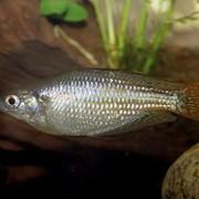 Рыба аквариумная Меланотения краснополосая - Melanotaenia splendida rubrostiata фото