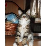 Котенок, кот шоу-класса, окрас черный мраморный биколор с белым фото