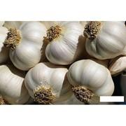 Чеснок семенной и продовольственный (сорта Любаша и Полесские сувениры) фото