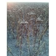 Семена подсолнечника Ян стандарт фото