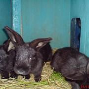 Продаю кроликов породы Серебристый (Полтавское, Европейское серебро(БСС)) Киев фото