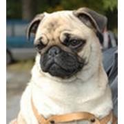 Собаки Мопс фото