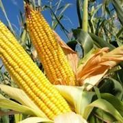 Семена F1 гибридов кукурузы фото