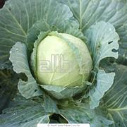 Семена капусты Свирель F1 фото