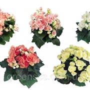 Бегония элатиор полумахровая микс -- Begonia elatior Half-gevuld mixed фото