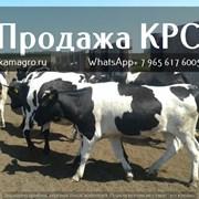 Импорт и Экспорт крупнорогатого скота фото