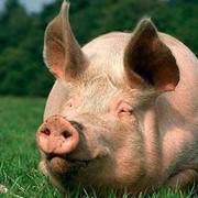Премикс Витамит для откорма свиней фото