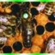 Бджоломатки карпатських бджіл фото