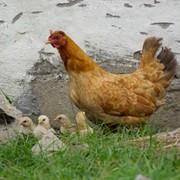 Выращивание молодняка кур - продажа оптом и в розницу. фото