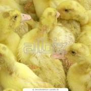 Суточный молодняк птицы:утята,индюшата,курчата продажа фото