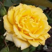 Роза Скайлайн фото