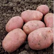 Картофель сорт Алладин фото
